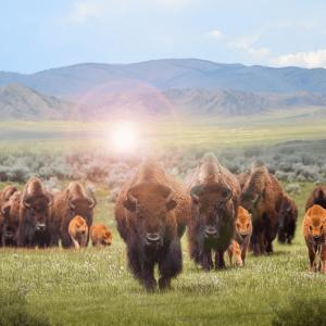 bison steppe 2